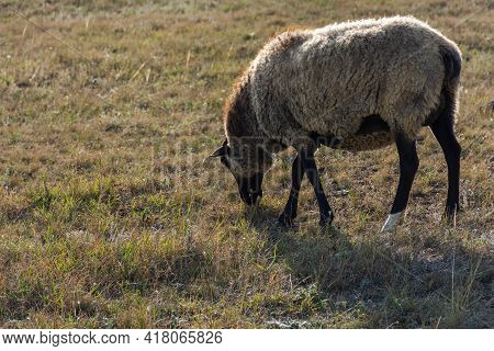 A Gray-black Sheep Grazing Alone In A Meadow. A Big Fat Curly-haired Sheep Eats Green Grass. The Her