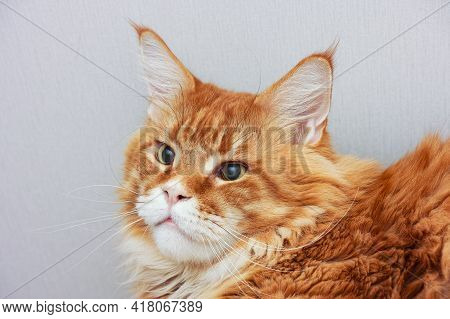 Portrait Of A Red Maine Coon Cat. Close Up.