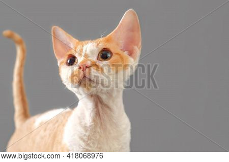 Portrait Of Red Cat Breed Devon Rex On Gray Background With Copy Space