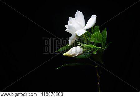 Blooming gardenia jasmine flower wit jasmine leaves isolated,border-black background
