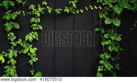 Green Vine, Ivy, Liana, Climber Or Creeper Plant Growth On Black Wooden Wall With Copy Space On Cent