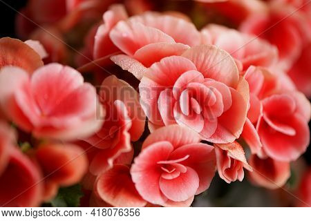 Bright Blooming Flowers Of Pelargonium, Geranium, Pelargonium With Decorative White Outlines On A Bl