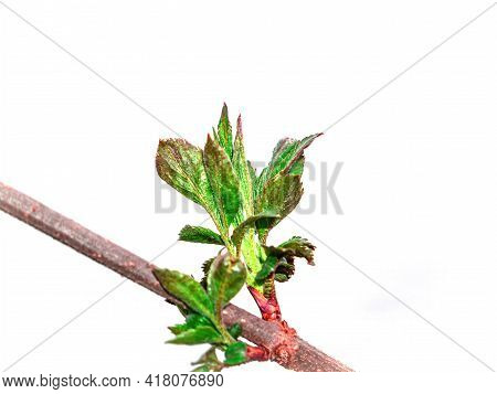 Opening Green Leaves Of A Tree On A White Background. Green Foliage. Tree Branch Leaf. Spring Season