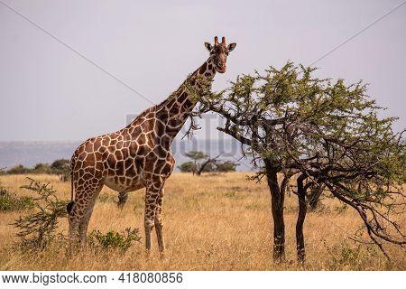 A Giraffe Grazing By A Tree In The Middle Of The African Jungle In Samburu, Kenya
