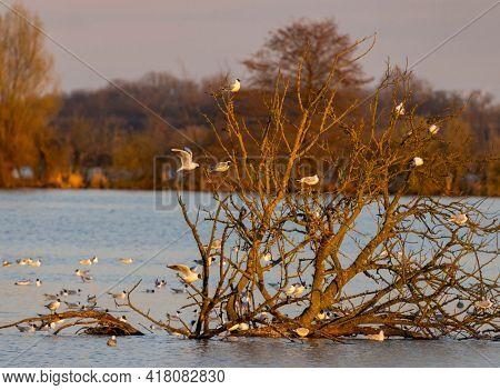 Black-headed Gull, Jaroslavice pond, Znojmo region, Southern Moravia, Czech Republic