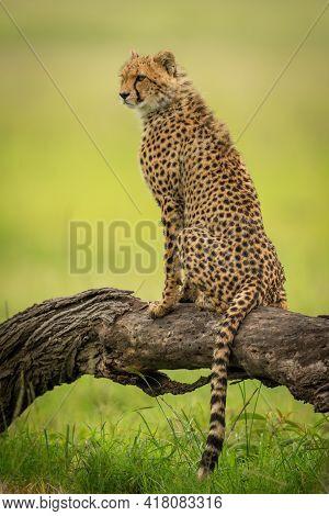 Cheetah Cub Sits On Log Facing Left