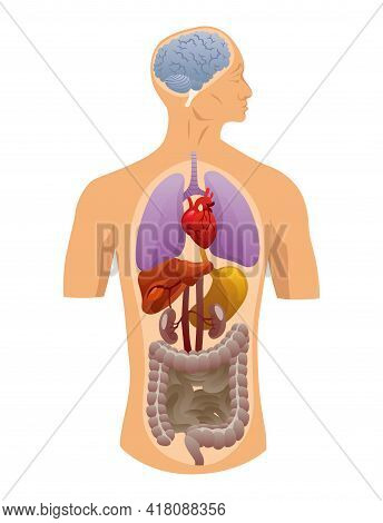 Internal Organs Of Human Body. Medical Info Graphics, Education Scheme Concept Of Anatomy System. Se