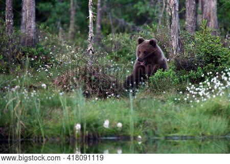 The Brown Bear (ursus Arctos) Bear Cubs In The Forest. Large Bear Cubs In A Dense Scandinavian Taiga