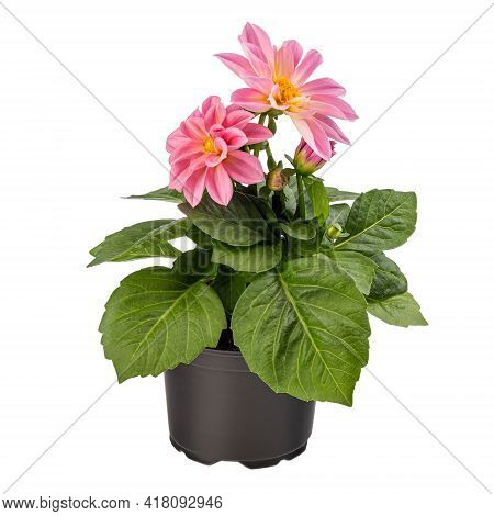 Pink Dahlia In Full Bloom On White Background