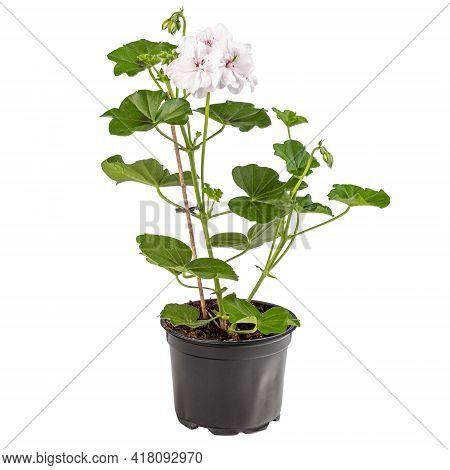 White Pelargonium Flowers Or Garden Pelargonium In Flower Pot On White Background
