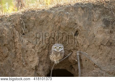 Spotted Owl Or Owlet Or Athene Brama Portrait Out Of Nest Or Hollow Perched On Branch With Eye Conta