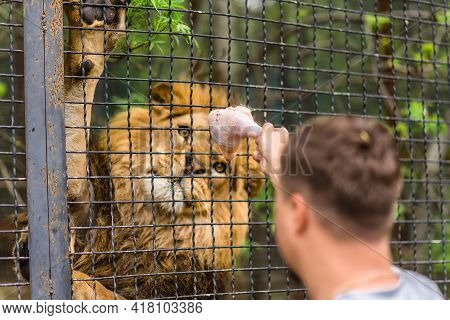 Close-up Lioness In A Zoo Cage, The Animal Sits In A Cage, Lioness At The Zoo, Man Feeds The Lion