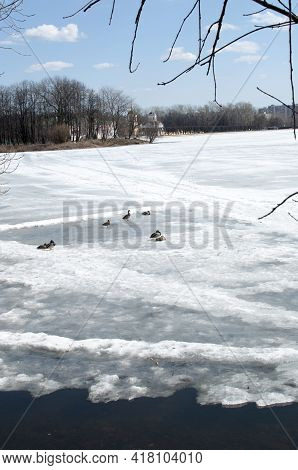 A Flock Of Ducks In The Snow Near The Melted Ice Near The Shore. Spring Panorama Of The Lake.a Flock