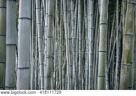 Bamboo Trunk Background, Natural Background Of Asian Forest. Bamboo Forest Pattern