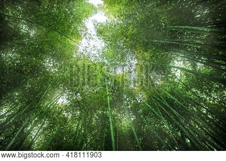 Green Bamboo Background. From The Bottom To The Top View Of Grove Of Bamboo Garden