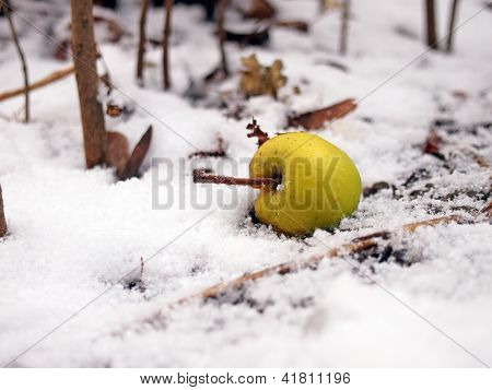 Wild Apple In Snow