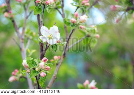 Blooming Apple Tree In Spring Time. Close Up Macro Shot Of White Flowers
