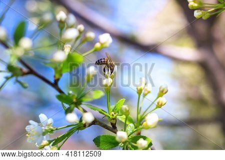 Spring. Bees Collects Nectar From The White Flowers Of A Flowering Cherry On A Blurred Natural Back