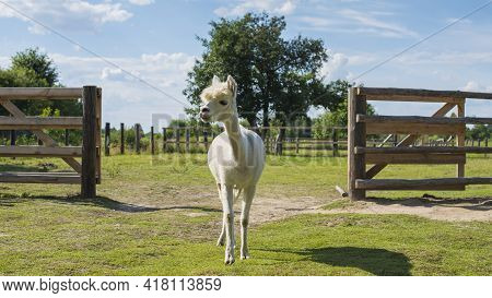 White Coated Alpaca Like A Llama In A Farmhouse. Beautiful Summer Day In The Countryside With Huacay