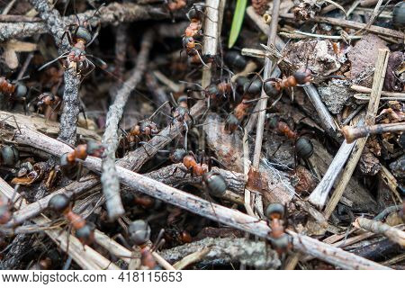 Close Up View Onto Big Forest Fire Ants That Working, Running & Building The Anthill. Three Ants In