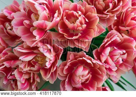 Pink Terry Tulips Close-up. Floral Bright Background.