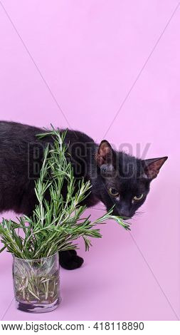 Black Cat Smelling Rosemary In Glass In Front Of Pink Background. Vertical Image With Copy Space