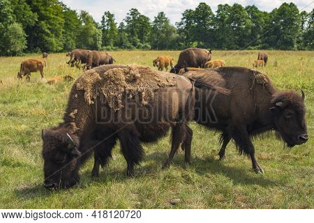 A Herd Of Plains Bison (american Bison) With Baby Calves In A Pasture On Sunny Day