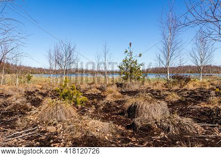 Peat Bogs, Brown Bog Earth, Swamp Birch Trees, Bog Lake, Blue Sky At Spring. Mesh Of Fluffy Moss At