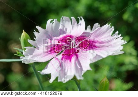 Chinese Carnation (lat. Dianthus Chinensis) In The Summer Garden Close-up