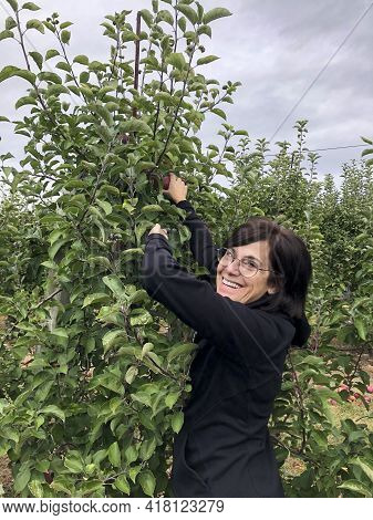 Woman Picking Apples From An Apple Tree At A Farm In Autumn