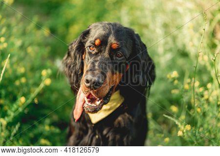 Nice scottish setter dog on green grass background