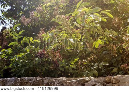 A Useful, Medicinal Plant (sambucus ) With Berries Grows And Ripens In The Garden Behind A Stone Fen
