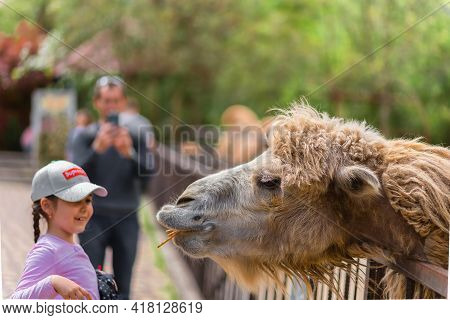 Yalta Russia - May 3, 2019 The Zoo. Portrait Of A Smiling Camel. Animal Head Close-up. Zoo Visitors