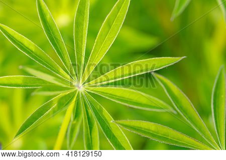 Natural Background Of Light Green Lupine Leaves. Lupine Leaves Have A Unique Star Shape