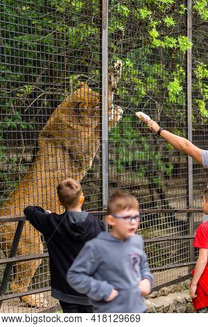 Yalta Russia - May 3, 2019 Lioness In A Zoo Cage, The Animal Sits In A Cage, Lioness At The Zoo, Man