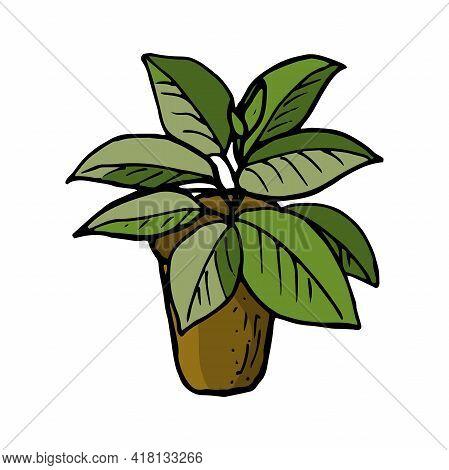 Home Flowerpot Ficus. Vector In Doodle Style, Drawn By Hand. Ficus Flowerpot Icon. Ficus In A Pot. P