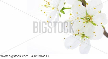 Soft Focus Shot Of Blooming Apple Flowers On A White Background In Close-up With Copy Space