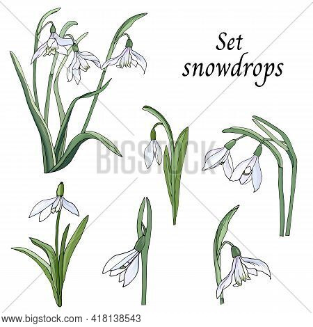 Set Of Snowdrops Cut Out On A White Background. Spring Delicate Wildflowers, Vector Illustration.