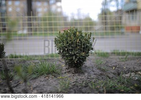 Green Trimmed Bush In The Yard. Green Bush Close-up.