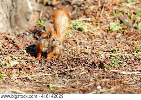 A Cautious Orange Squirrel Against The Background Of A Brown Forest Litter Of Withered Fallen Leaves