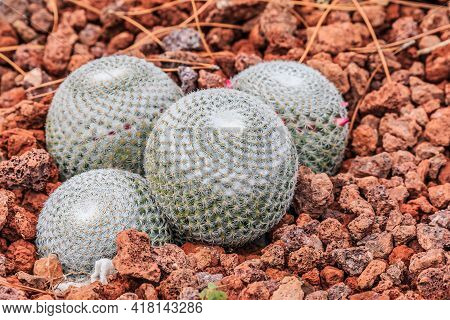Cactus Mammillaria Albilanata On Stony Ground In Autumn With White-woolly Spines And Small Armin Pin