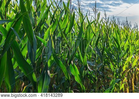 Green Corn Growing On The Field At Sunrise. Corn Plants. Cornfield In Farmland