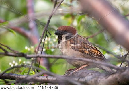 Sparrow Sits On A Branch With Open Beak In Spring On Green Blured Background. Sparrow On A Branch In