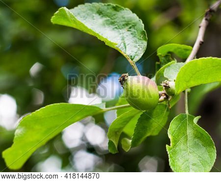 Ovary Of Apples On A Branch, Green Apple Fruit