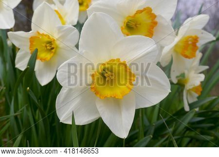Flowering Daffodils. Blossoming Glade Of Daffodils In Green Garden