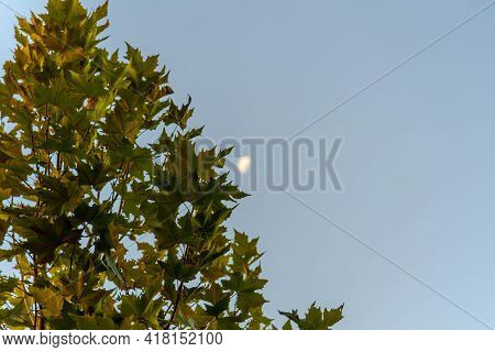 Leaves Of The Platanus X Hispanica Tree And In The Background A Blurred Image Of The Moon. Sycamore