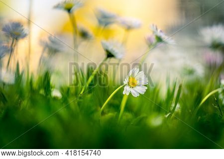Detail Of A Daisy Flower On A Daisies Flower Meadow With Blurred Background