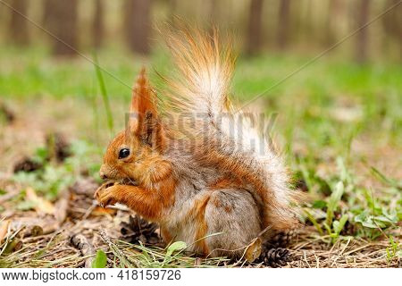 Red Squirrel Nibbles A Nut In A Pine Forest. An Animal In A Natural Habitat. Close-up