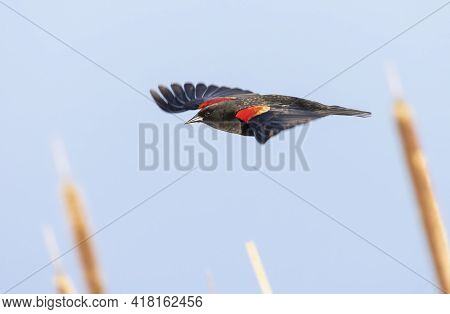 Red Winged Blackbird At Richmond British Columbia,  Canada,  North American