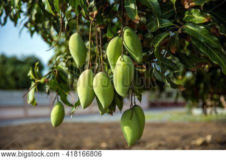 Fresh Green Mango Fruit On The Tree In The Orchard.